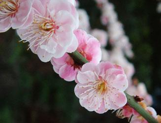 若々しい臥龍梅の花